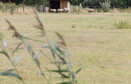 schapen-wei