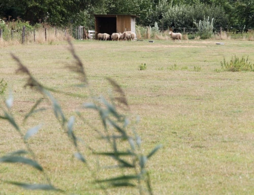 Impressie schapen in de wei