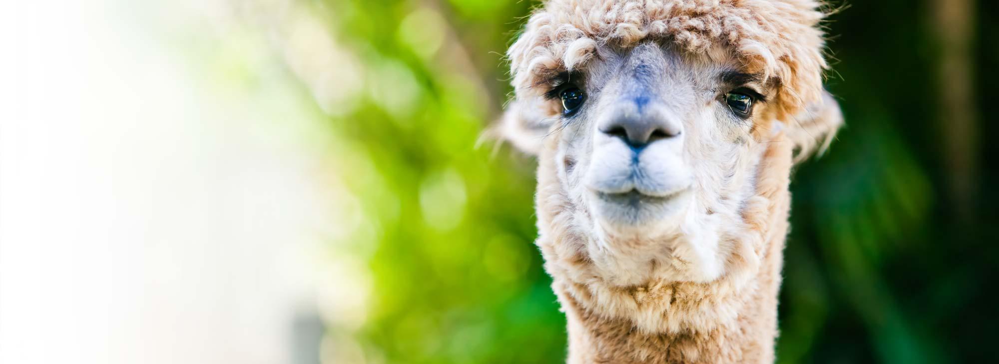 slider-landgoed-alpaca