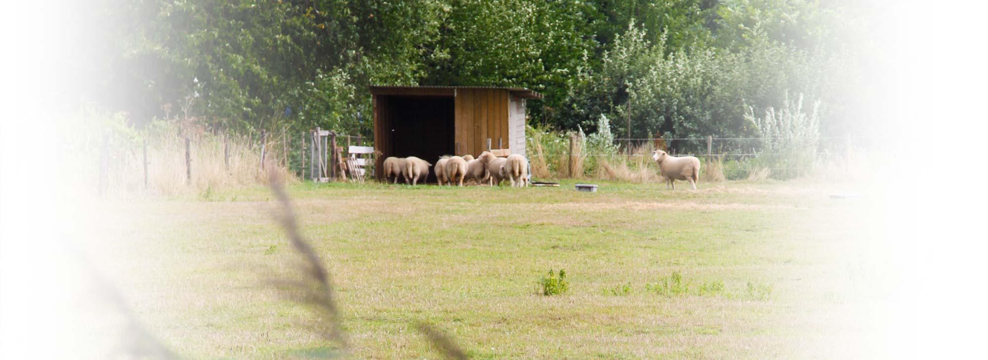 slider-landgoed-schapen